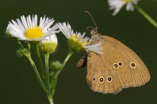 owady zapylające, motyl