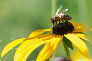 owady zapylające, pszczoła