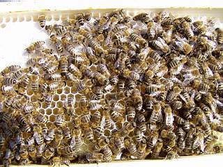 Żywe pszczoły na ramce z miodem w pasiece ULIK.