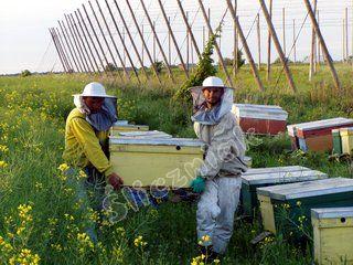 Zabieranie i transport uli z pola rzepaku w pasiece ULIK