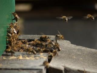 Pszczoły na wlocie ula