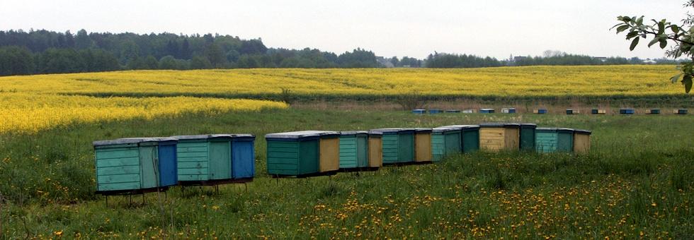 Pasieka ULIK na polu rzepaku, pszczoły produkują miód rzepakowy