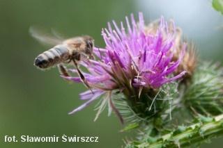 Pszczoła na kwiatku ostrożenia