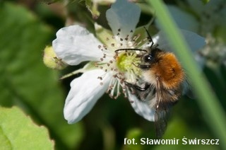 Pszczoła na kwiatku polnym