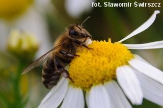 Pszczoła na rumianku