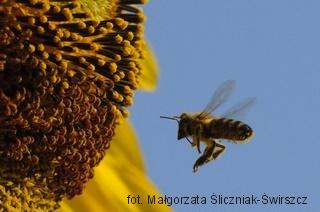 Pszczoła przed słonecznikiem