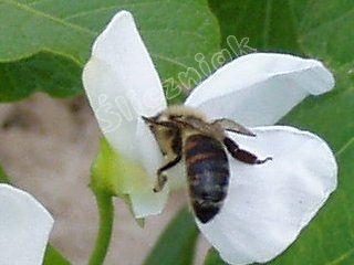 Pszczoła na białej fasoli