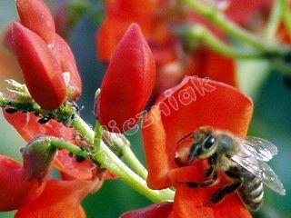 Pszczoła na czerwonej fasoli