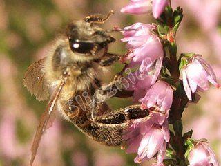 Pszczoła na wrzosie
