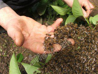 Pszczoły na dłoni
