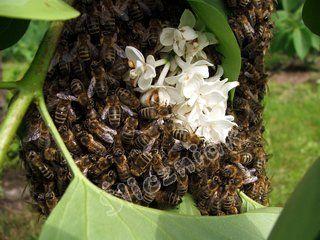 Rój pszczół na gałęzi drzewa