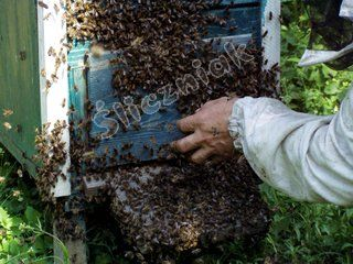 Rój pszczół na ulu 1