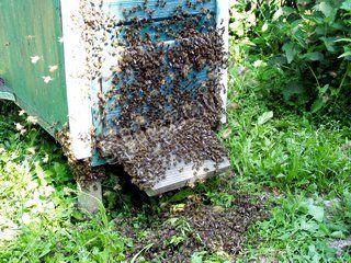 Rój pszczół na ulu 2