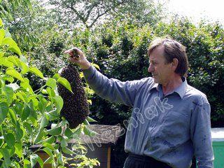 Rój pszczół w reku pszczelarza