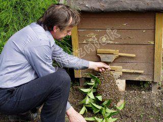 Rój pszczół przed ulem