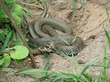 Wąż zaskroniec w Zwierzyńcu